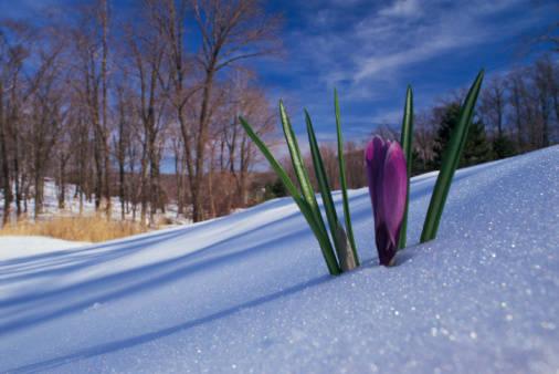 crocus-snow